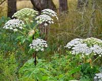 Ismét felbukkant a súlyos sérülést okozó növény