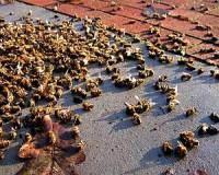 Hamarosan milliószám pusztulhatnak a méhek