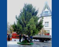 Ez a fenyőfa is rekordközeli