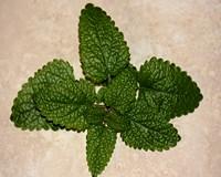 A 2013-as Év Gyógynövénye, a citromfű
